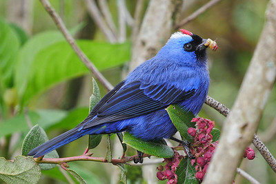 Diademed is a fine name for this lovely tanager. Photo by guide Bret Whitney.