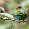 Bay-headed Tanager on the Fortuna Road, by participant Chris Wood