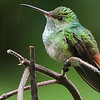 Rufous-tailed Hummingbird, by participant Mark Shocken