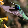 Lesser Violetear at Mount Totumas, by participant Chris Wood