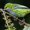Speckled Tanager, by participant Mark Shocken
