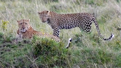 Magnificent Leopards should be among the big cats we'll see. Photo by participants David & Judy Smith.