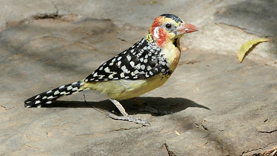 Red-and-yellow Barbet, photographed by participant Daphne Gemmill