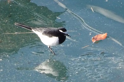 Japanese Wagtail by guide Phil Gregory