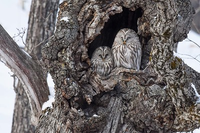 Roosting Ural Owls by participant Becky Hansen