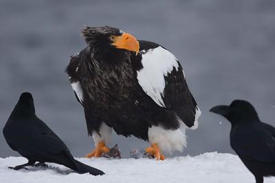 Steller's Sea-Eagle by participant Becky Hansen