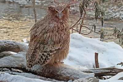 Blakiston's Fish-Owl by participant George Sims