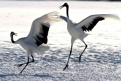 Red-crowned Cranes by participant Ken Havard
