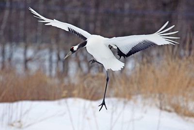 Red-crowned Crane by participant Becky Hansen