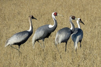 White-naped Cranes by guide Phil Gregory