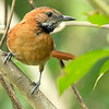 Hoary-throated Spinetail, by guide Marcelo Barreiros.