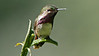 Wine-throated Hummingbird by participants David and Judy Smith