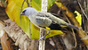 Yellow-winged Tanager by participants David and Judy Smith