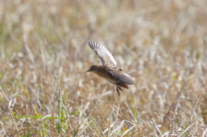 Yellow Rail over the rice fields on a 2017 tour, by guide Cory Gregory.