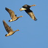 Participant Duane Morse's image of Greater White-fronted Geese in flight in 2017.