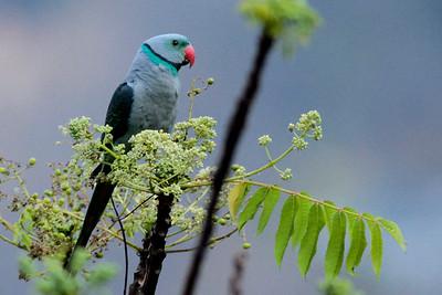 The beautiful Malabar Parakeet, by Sathyan Meppayur.