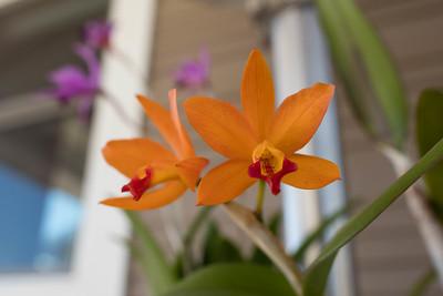 Hybrid Cattelya orchid