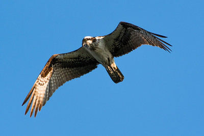 Osprey scans the water below for fish