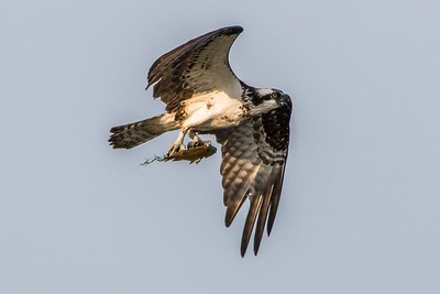 Osprey with fish in its talons