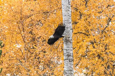 Bald Eagle soars among fall foliage