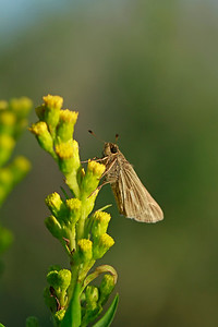 Salt Marsh Skipper on Seaside Goldenrod