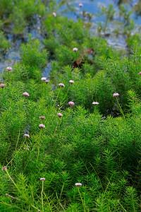 Sclerolepis uniflora- Bog Buttons