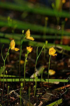 Utricularia gibba- Humped Bladderwort