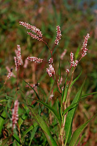 Persicaria glabra- Denseflower Knotweed