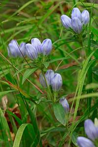 Gentiana saponaria- Soapwort Gentian