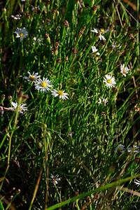 Symphyotrichum tenuifolium- Salt Marsh Aster