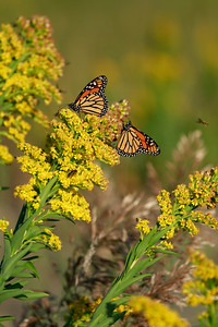 Monarchs on Seaside Goldenrod