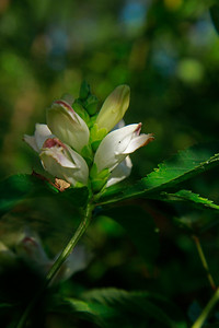 Chelone glabra- White Turtlehead