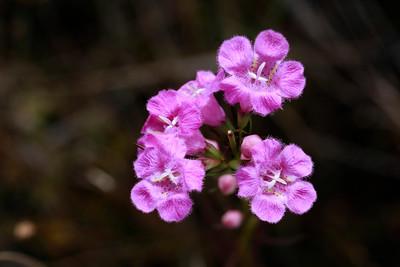 Agalinis purpurea- Foxglove Gerardia