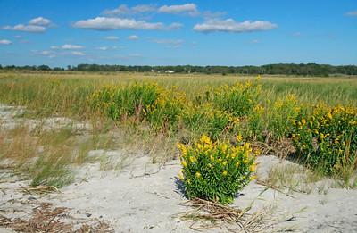 Solidago sempervirens- Seaside Goldenrod