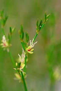 Fimbristylis autumnalis- Slender Fimbry