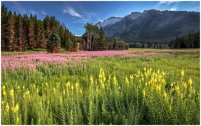 Mountain Wild Flowers - Banff
