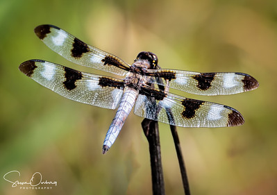 12 Spotted Skimmer, CACCA Honorable Mention, Oct 2016
