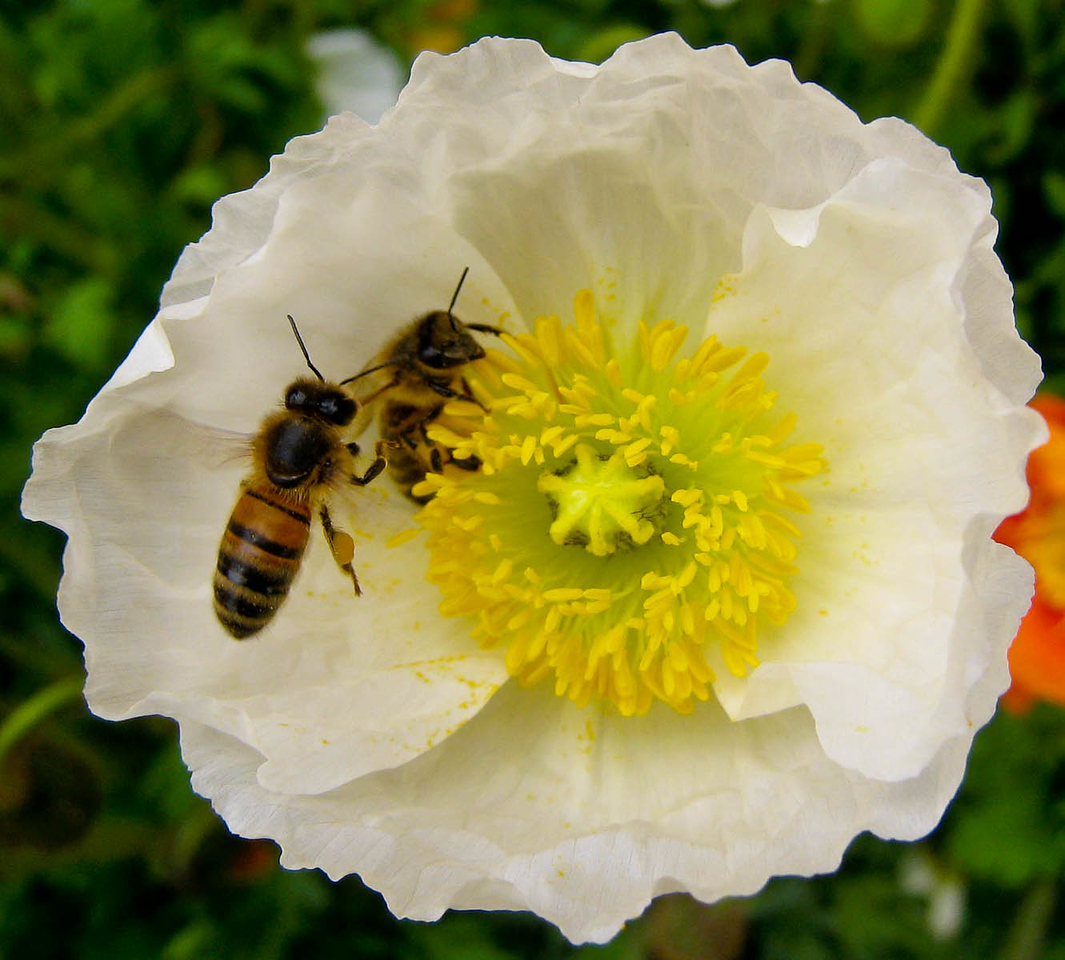 Two bees in a poppy at the Royal Botanical Gardens, Hobart