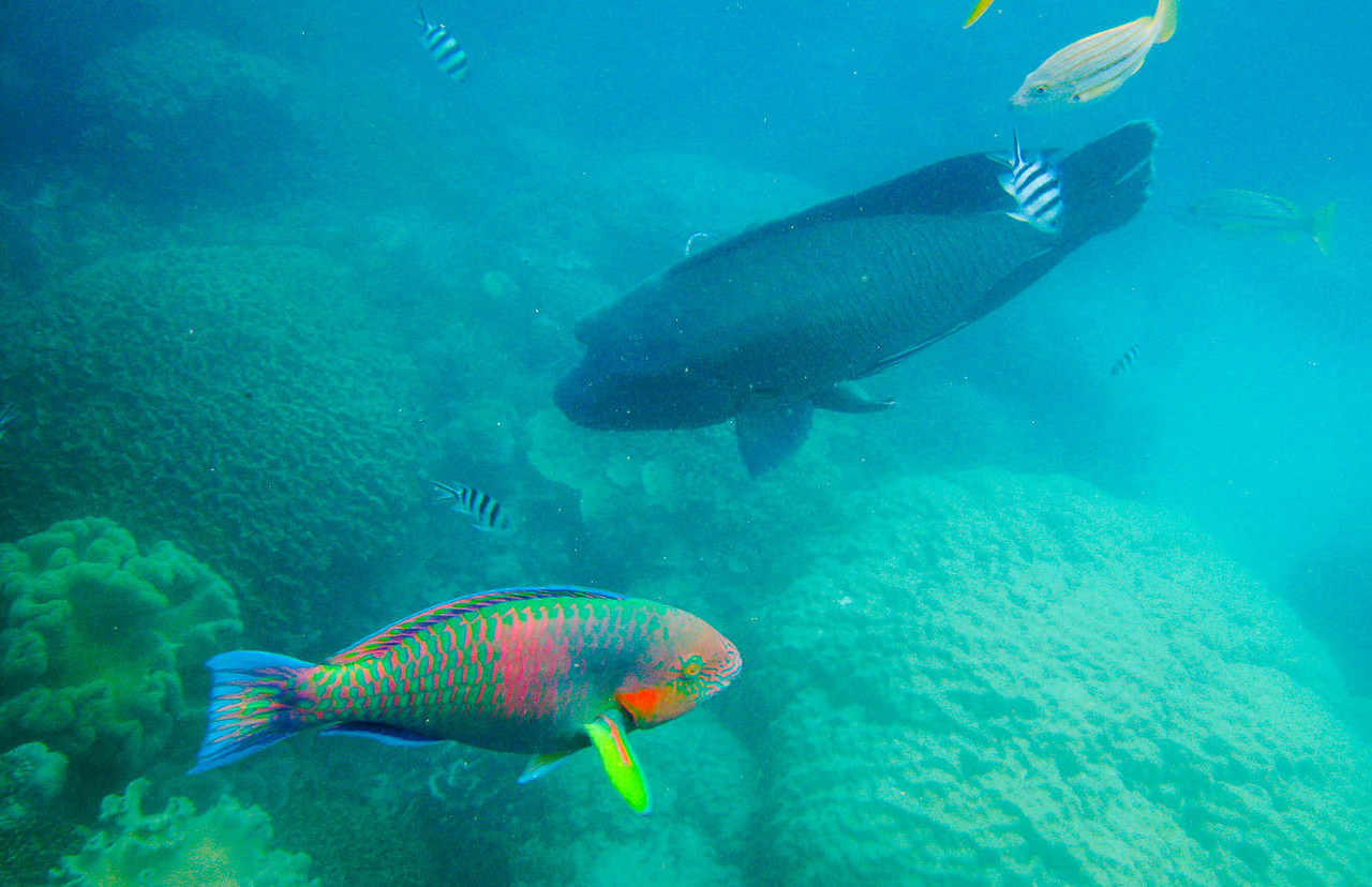 The parrot fish look like bait for the humphead wrasse.