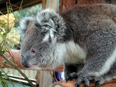 Dec, 2000: Brisbane Australia: Near-sighted Koala navigating scary branch.