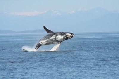 Breaching Humpback whales in Frederick Sound, Alaska