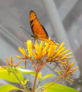 Butterfly on honeysuckle