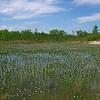 Eriocaulon aquaticum- Seven-angled Pipewort