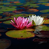 White and pink waterlilies