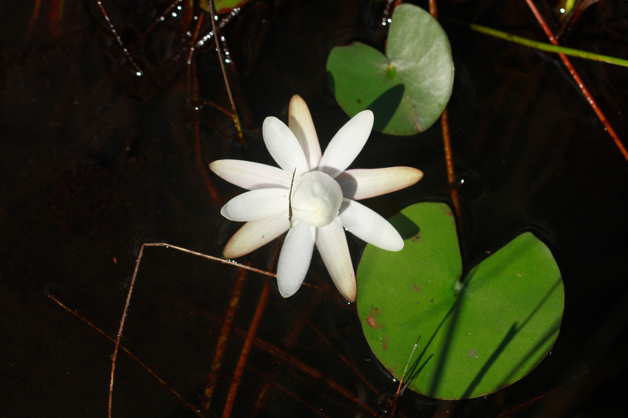 Nymphaea odorata- White Waterlily