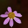 Coreopsis rosea- Rose Coreopsis