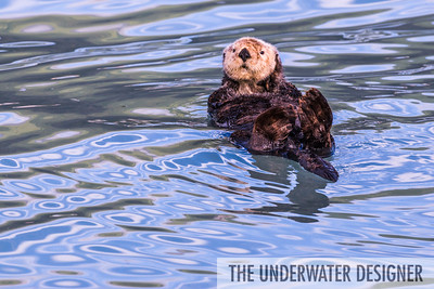See otter