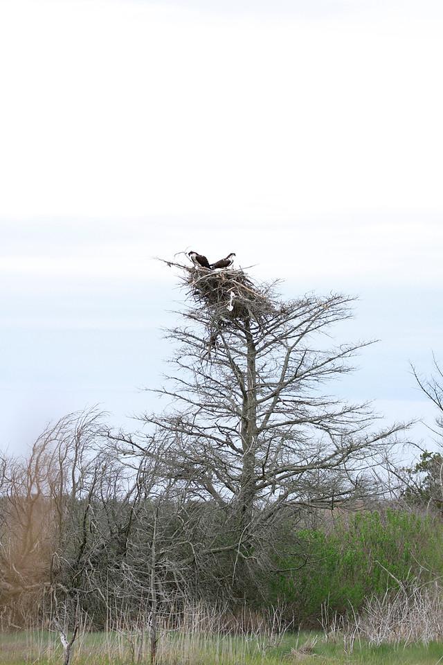 Natural Osprey nest