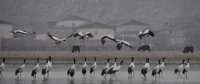 Black-necked Crane, Grus nigricollis at Napa hai (early March)