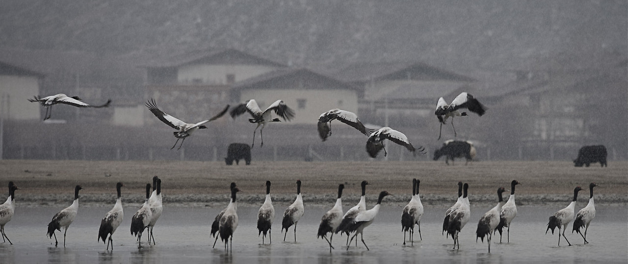 Black-necked Crane, Grus nigricollis at Napa hai (early March)
